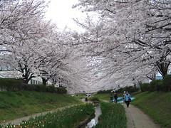 IMG_1041 (macco) Tags: japan cherry blossom   sakura nippon yokohama kanagawa