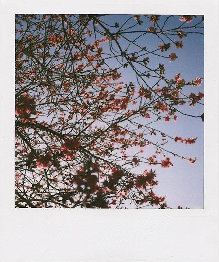 peach-n-apricot tree