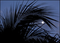 moonlight & palm trees (Mr.  Mark) Tags: morning light sky moon tree eye beach leaves silhouette night evening costarica palmtree flickrchallengegroup markboucher