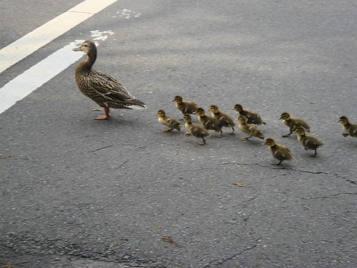 Duck Herding