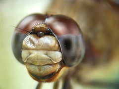 Amazing Dragonfly - Liblula (Lorenzo & Samia) Tags: macro nature animal insect golden amazing flickr dof shot dragonflies dragonfly sony insects soe insecte insectes libellule ultimat odonata aplus h7 libellules flickrland odonate supershot odonates aplusphoto megashot theunforgettablepictures catchycolorsflickrish fl0509