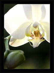 Orchid (Vespaline) Tags: white plant orchid flower macro green nature natur pflanze grün orchidee blume makro weis abigfave diamondclassphotographer flickrdiamond macrophotosnolimits brillianteyejewel