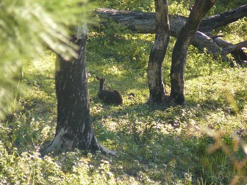 Coup de chasse Bopope Mai 2008 #10 : la biche