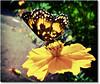 Bordered Patch - Chlosyne lacinia saundersi (AnnuskA  - AnnA Theodora) Tags: light green yellow butterfly wings bokeh patterns emerald cosmos hardtoidentify borderedpatch abigfave anawesomeshot
