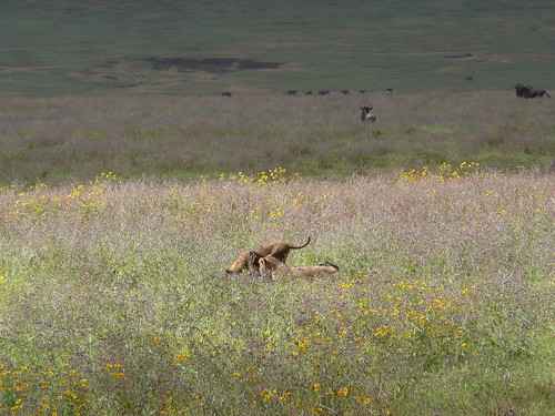 Lion cubs eating and playing with a wildebeest carcas