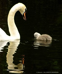 Mother love (Steve-h) Tags: ireland dublin art love tourism nature water birds reflections design swan europe cygnet tourists finepix recreation tender aerlingus tenderness ststephensgreen motherlove steveh molther s100fs rememberthatmoment rememberthatmomentlevel4 rememberthatmomentlevel1 rememberthatmomentlevel2 rememberthatmomentlevel3 rememberthatmomentlevel7 rememberthatmomentlevel9 rememberthatmomentlevel5 rememberthatmomentlevel6 rememberthatmomentlevel8 vigilantphotographersunite vpu2 vpu3 vpu4 vpu5 vpu6 vpu7 vpu8 vpu9 vpu10