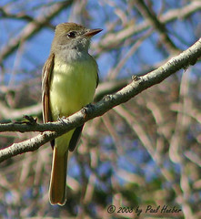 Great-crested Flycatcher (Myiarchus crinitus) (Paul Hueber) Tags: bird nature birds canon florida wildlife aves ave handheld avian seminolecounty altamontesprings centralflorida greatcrestedflycatcher myiarchuscrinitus myiarchus musicarver gcfl