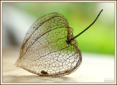 Delicate like me and you (David Maury) Tags: macro heart cage explore physalis interestingness12 amourencage i500 alkkenge attrapecurs davidmauryphotography
