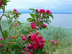 Baltic (oriss1987) Tags: pink blue red sea sky mountain flower green beach rose clouds landscape leaf bush