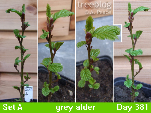 grey alder No. 4 from 4 angles