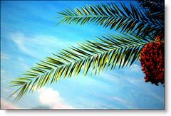 A palm (SWAIDAN  to Syria  G.W.L.K_) Tags: art nature clouds canon coast kodak science palm kuwait  dates q8 voluntary cloyds naturel    creativ      kuwaitscienceclub swaidan maqazine colorlover