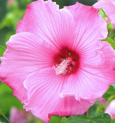 Pink in all its Glory (Cher12861) Tags: pink summer flower macro rose closeup illinois arboretum explore hibiscus mallow morton lisle theunforgettablepictures theworldinpink