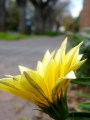 Brightening the scenery (Murfomurf) Tags: flowers trees cold yellow grey spring daisy adelaide hydepark footpath hopeful arly streetsoaks