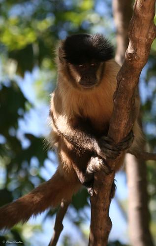 Série com o Macaco Prego (Cebus apella) - Series with the Capuchin monkey - 24-08-2008 - IMG_20080824_9999_110