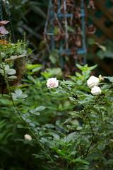 バラの鉢にトウガラシ