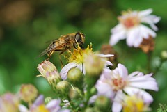 pollen picking (sure2talk) Tags: flower pollen hoverfly shallowdof nikond60 eristalispertinax anawesomeshot braxtongardens