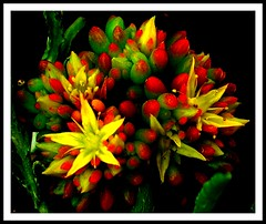 THANK YOU TO ALL MY FLICKR FRIENDS! (LelisA) Tags: succulent jellybeans inthegarden anaheimca yellowstars abigfave redyellowandgreen aplusphoto starsatnight theunforgettablepictures goldstaraward thebestofday flickrlovers colourfullaward