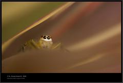 Looking Up (Anoop Anand A) Tags: india macro ex canon insect spider eyes spiders sigma insects kerala apo 3a spidey looks macros anoop aaa dg trivandrum kenko 150mm thiruvananthapuram extensiontubes insectindia hsm 40d anoopaa killerlooks canoneos40d kazhakoottam canon40d anoopananda sigmaapomacro150mmf28exdghsm anoopco wwwanoopco httpwwwanoopco