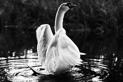 Swan Flapping (Callum Mcinerney Riley) Tags: uk white lake black bird nature water birds river photography swan wings ripple wildlife tail beak feathers scenic queen flapping callum rearing mcinenrey