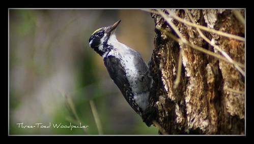 Three -Toed Woodpecker