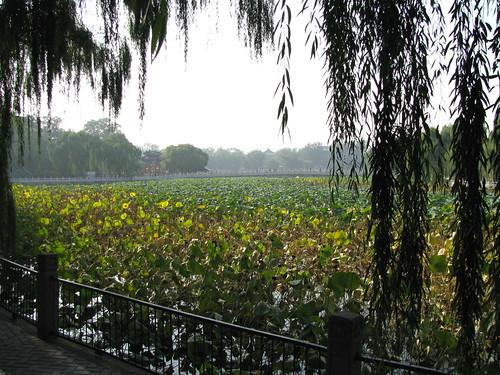 giant-water-lillies-beihai-park