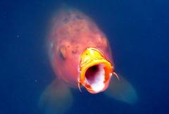 [フリー画像] [動物写真] [魚類] [鯉/コイ]        [フリー素材]