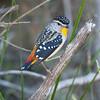 Spotted Pardalote (Greg Miles) Tags: searchthebest australia nsw newsouthwales spottedpardalote pardalotuspunctatus calga animalkingdomelite avianexcellence vosplusbellesphotos