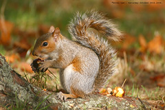 Anybody want a game of Conkers??? (law_keven) Tags: park autumn england london nature animals rodent furry squirrel dof bokeh critter stjamespark furryfriday autumnal