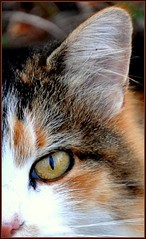 Cat Eye (Tracey Tilson Photography) Tags: eye cat fur nikon october kitty cassie calico 2008 d90 nikond90 theunforgettablepictures