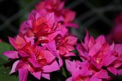 Bougainvillea (Flower) 勒杜鵑 (air maxx) Tags: world life china desktop wild wallpaper hk plant flower nature japan night leaf nice good farm bougainvillea hong kong discovery 1024 macrolicious lifebeautiful
