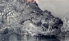 New Nile Croc Pencil Drawing - www.drawntonature.co.uk (kjhayler) Tags: pictures africa wild blackandwhite art water animal animals monster illustration pencil reflections river print real photography sketch arty dinosaur image artistic photos pics drawing gator reptile african wildlife alligator picture illustrations drawings images photographic nile lizard salty crocodile jaws reflective croc prints monsters predator sketches prehistoric lizards graphite dinosaurs reptiles crocodiles realism crocs predators animalart wildanimals realistic crocadile riverlife riverine pencildrawings animalpictures wildlifeart nilecrocodile wildlifephotos animalphotos prehistoricanimals wildlifepictures picturesofanimals wildlifepicture picturesofwildlife picturesofcrocodiles crocodilepictures picturesofcrocs crocpics