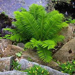 BK242 Ferns (listentoreason) Tags: usa plant fern color green nature america unitedstates pennsylvania favorites places olympus longwoodgardens score30 olympusc4040z c4040z
