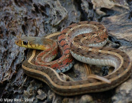 Buff striped Keelback