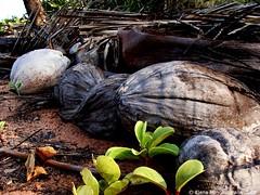 Coconut (Elena Martinello) Tags: macro coconut australia western gettyimagesitalyq1 gettyimagesitalyq2 gettyimagesitalyq3