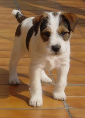 Sibilla detta Billa a 2 mesi - Parson (Jack) Russell Terrier (nepalbaba) Tags: portrait dog chien love dogs animals cane puppy jack friend expression russel terrier hund ritratto animali hunde parson chiens cani cuccioli anawesomeshot janfrenksfriends