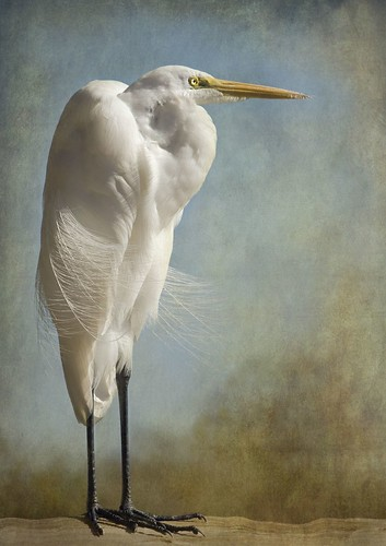 Egret in Morning Light
