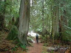 A hiker walks amongst the giants