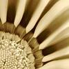 Flower in sepia (Mary Susan Smith) Tags: flower sepia gazania aplusphoto photofaceoffwinner photofaceoffgoldmedal platinumheartaward pfogold pfoisland02