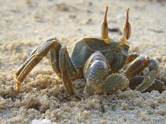 Ghost Crab (rushh [ surf photography ]) Tags: macro sand crab hiding staring maldives sunsettime ghostcrab maafushi kakuni kirukakuni rushh