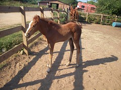 Sage (jumpyfrog0506) Tags: red horse baby cute spice sage walker bite week quarter blaze tennesse weeks colt stubborn chesnut foal cierra
