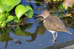 Common Sandpiper (nurur) Tags: bird dam sandpiper common bangladesh feni commonsandpiper muhuri nurur muhuridam muhuririver
