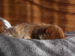 Sleepy girls (Mrs eNil) Tags: sleeping cats ginger feline warm martha tabby pussy kitty molly kitties snoring snuggly dozing gingercats orangecats snoozy orangekitty gingertabby