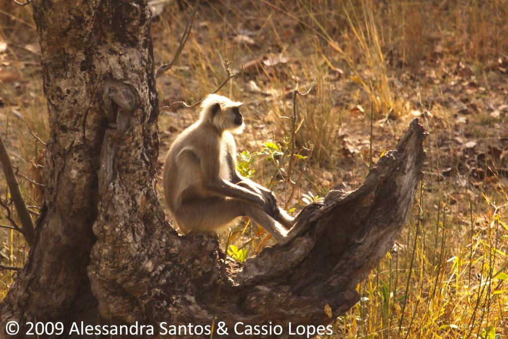 Langur Sitting _MG_0655_F