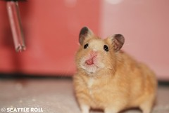 """""""Have a Tasty Weekend!"""" *Niko* (Seattle Roll) Tags: golden hamster 60mm syrian tougue f28d d80"""