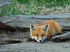 Red Fox kit relaxing (annkelliott) Tags: canada animal fauna mammal lumix den young explore alberta fox pointandshoot kit resting carnivore frontview lyingdown redfox vulpesvulpes oneanimal interestingness205 takenfromcar i500 annkelliott southofcalgary fz28 panasonicdmcfz28 explore2009june14 p1110881fz28