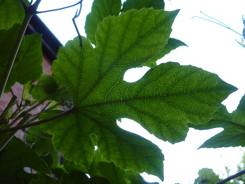 Porcelain berry vine leaf