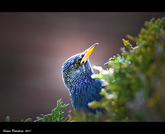 Curious Starling (Simon Downham) Tags: orange bird backyard nikon bokeh profile beak starling curious nikkor plumage 70300 orangebeak d90 dsc0400ccrender5x