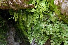 Maidenhair forest (unsure shot) Tags: barcelona park plants gaudi ferns parkguell maidenhairfern
