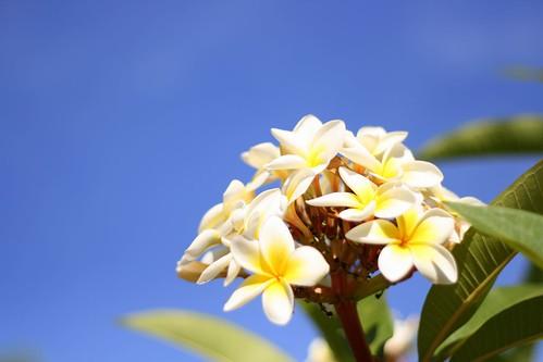 Chempakam (Michelia champaca) Frangipani