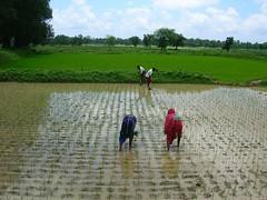 SRI paddy field.